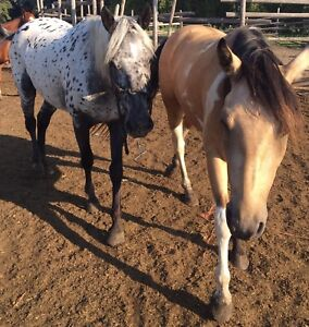 Buckskin paint and leopard Appy