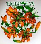 TIGERLILYS