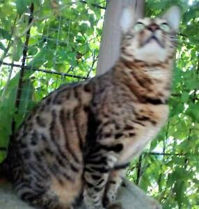 Purebred Bengal brown spotted  female