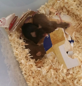Baby mice for sale Cleveland Redland Area Preview