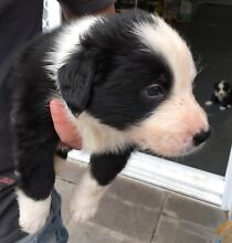Beautiful pure breed Border Collie puppies Ryde Ryde Area Preview