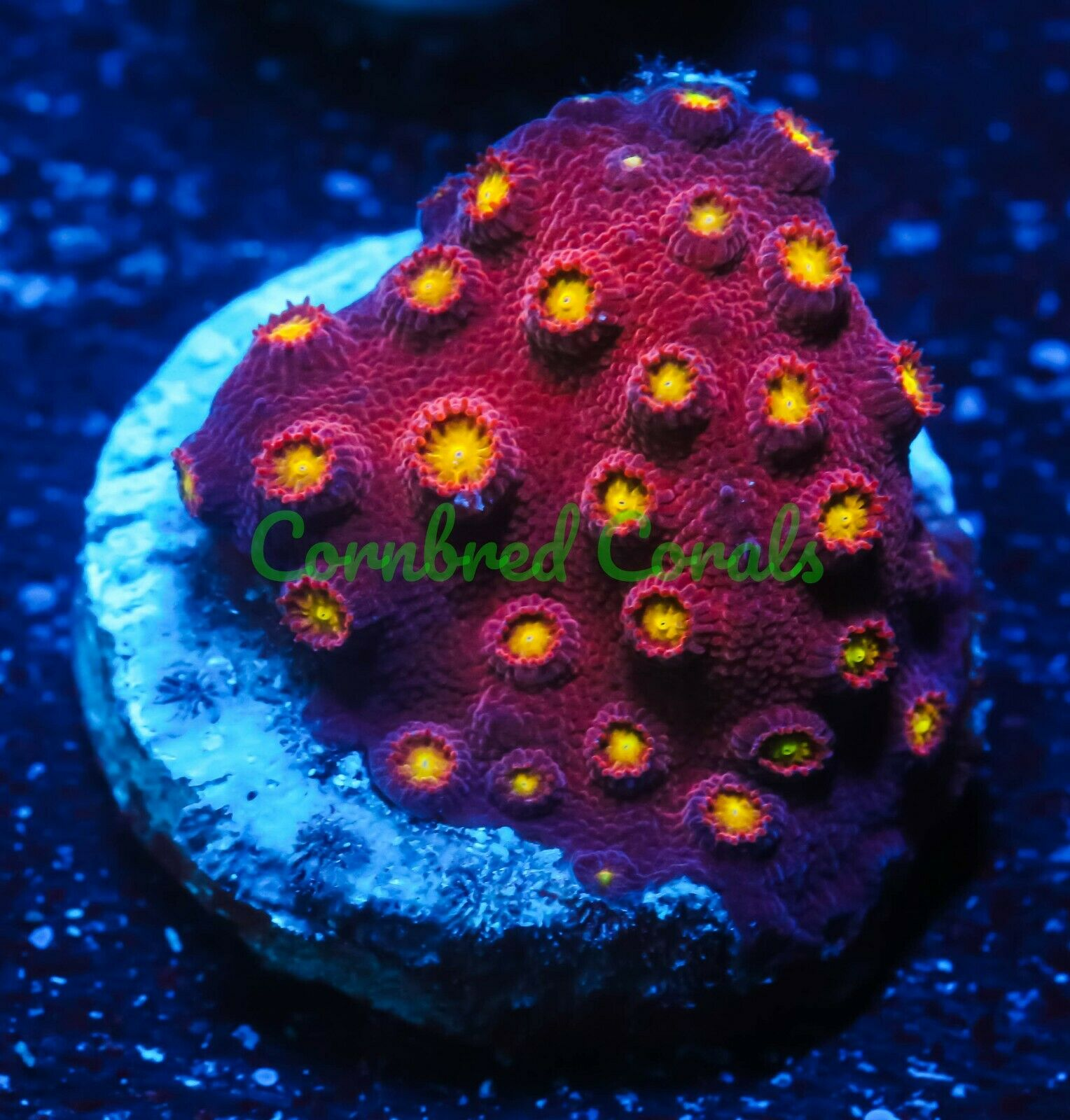 Cornbred s Bling Bling Cyphastrea - Frag - LIVE CORAL - $39.99