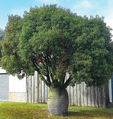 10 Queensland Bottle Tree Seeds Palm Tropical Perennial Tree Ornimental Seed