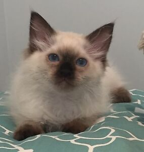 Purebred Seal Point Ragdoll! Desexed with pedigree papers! Quakers Hill Blacktown Area Preview