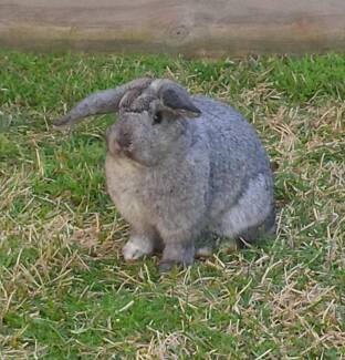 Mini Lop Rabbit 3 months old with Rabbit Hutch in A1 condition Mooroolbark Yarra Ranges Preview