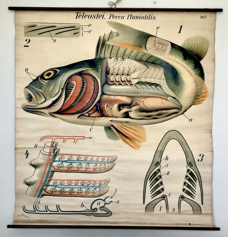 Antique Denoyer Geppert Pfurtscheller Zoological Wall Chart Perch Fish