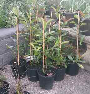 Photinia Red Robin 200mm pots Shortland Newcastle Area Preview