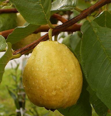 24  White Florida Pear Guava Tropical  Fruit Tree Seeds Psidium Guajava Edible