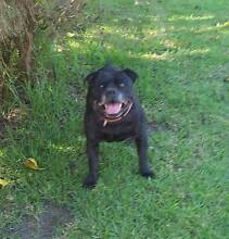 Black Purebred staffordshire bull terrier entire male rising 8yrs Albany Albany Area Preview