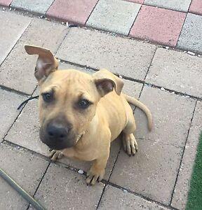 American staffy x fox terrier  puppy Pennington Charles Sturt Area Preview