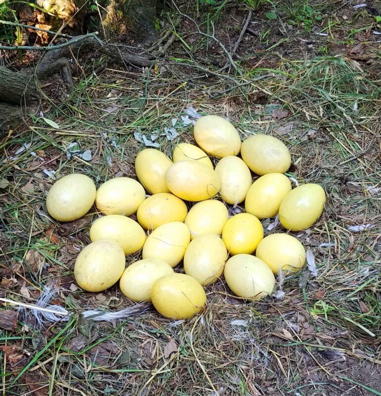 Box of 18 Rhea Eggs  8 small and 10 medium Grade A