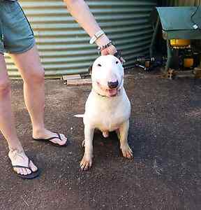 Bull Terrier needing new home Mapleton Maroochydore Area Preview