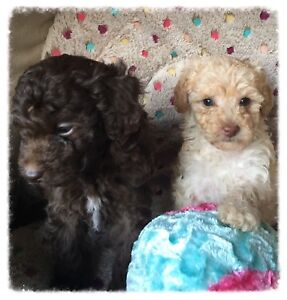 Poodle & Moodle Puppies