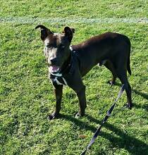 Male Kelpie X - Foster or Adoption Hornsby Hornsby Area Preview