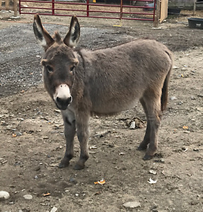 Looking for a MINI JENNY DONKEY