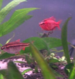 6 Cherry barbs