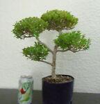 littlebonsaigardens
