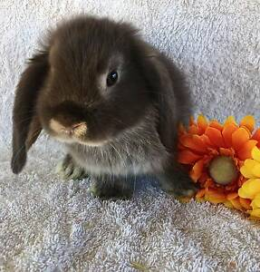 PURE BRED MINI LOP BABIES - READY NEXT WEEKEND Joondalup Joondalup Area Preview