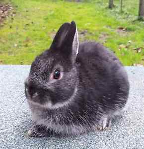 Purebred Black Otter Netherland Dwarf Rabbit Launching Place Yarra Ranges Preview