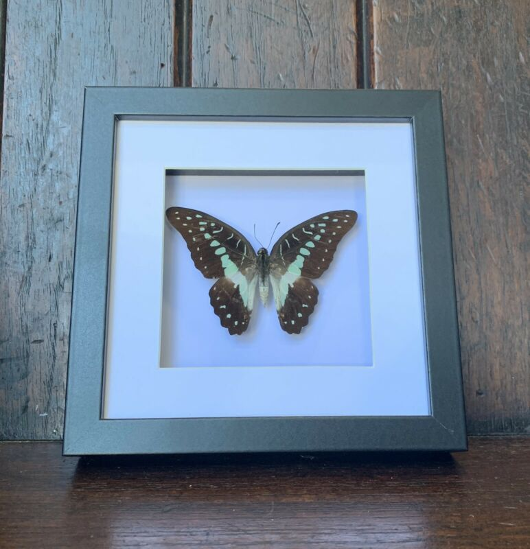Real Paul green triangle  Butterfly, Graphium  Pamphylus, Insect Taxidermy