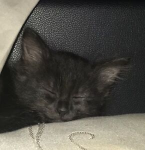 7 week old black fluffy ragdoll x burmese kittens