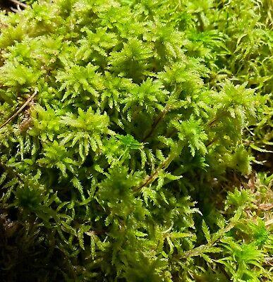 Live Organic Sphagnum Moss EXTRA LONG, Orchid Terrarium Carnivorous Plants - 1QT