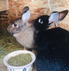 Pair of bonded bunnies for adoption - will give $50 and food