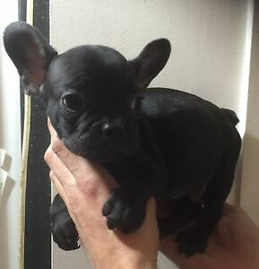 Black n brindle French bulldog puppies Females  5ks pedigree North Manly Manly Area Preview