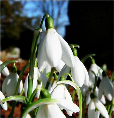 10- 15 SNOWDROP GALANTHUS AUTUMN BULB CORM GROWING GARDENING SPRING WHITE FLOWER