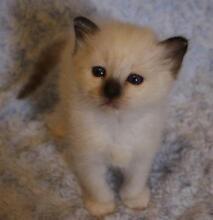 Stunning Birman Kittens For Sale Kingsgrove Canterbury Area Preview