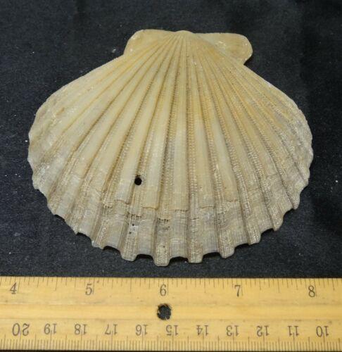 Stonez-N-Bonez Chesapecten Jeffersonius Scallop Pliocene (5-4mya) CJ6