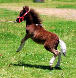 MINIATURE FOAL FOR SALE Black and white Pinto Gelding Horse Margaret River Margaret River Area Preview