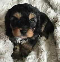 Stunning toy cavoodle puppies Morisset Lake Macquarie Area Preview