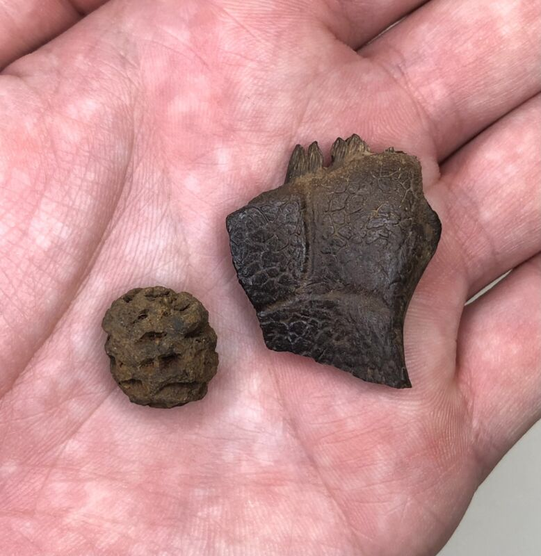 Fossil Metasequoia Pinecone and Turtle Shell - Hell Creek Formation
