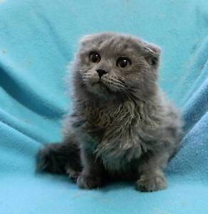 TOO CUTE! Scottish Fold Longhair Kitten Tingalpa Brisbane South East Preview