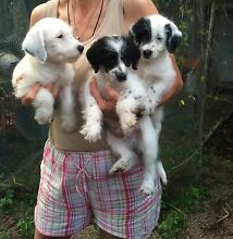 Poodle x fox terrier puppies for sale male Nambour Maroochydore Area Preview