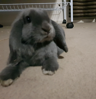 12 week old tame lop rabbit