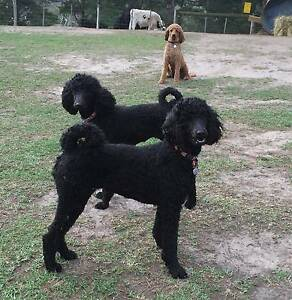 STANDARD POODLE FEMALES 2 YEARS OLD (DE-SEXED) Upper Plenty Mitchell Area Preview