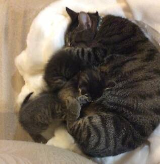 Adorable Kittens for Sale! Bonogin Gold Coast South Preview