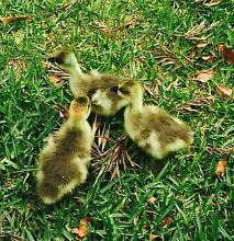 Brown Chinese Geese Goslings Chandler Brisbane South East Preview