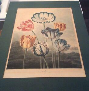 Thornton (1768-1837) Tulips 1798 Mezzotint The Temple of Flora