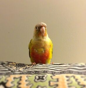 Conure pair for Sale