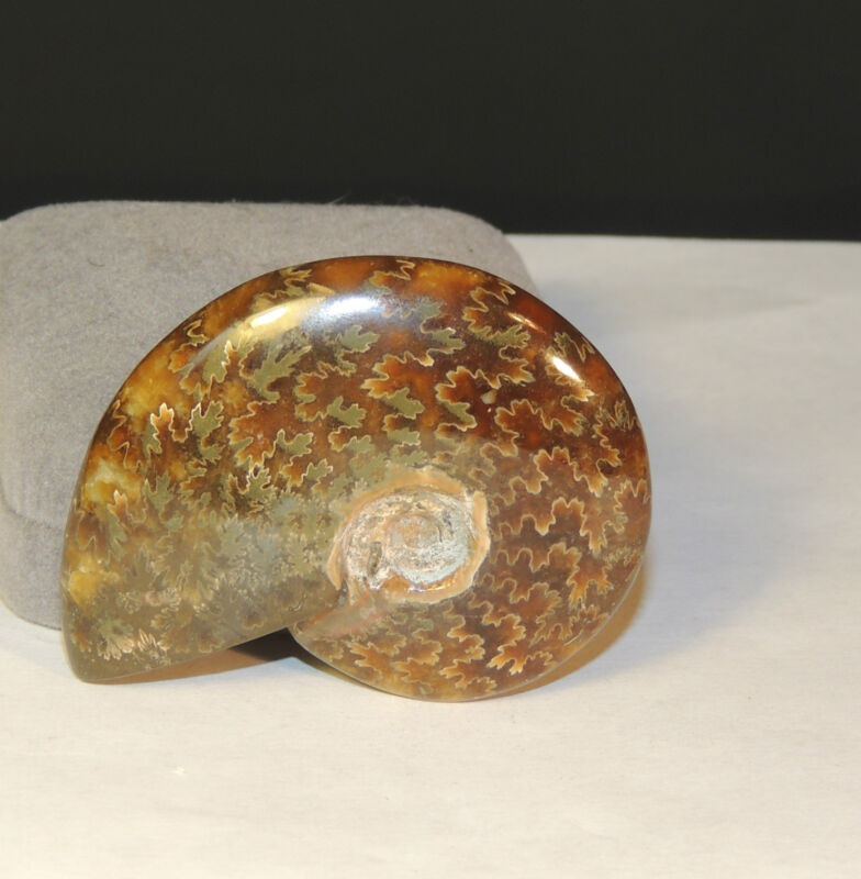 Ammonite Specimen from Madagascar over 2 inches wide (4375)