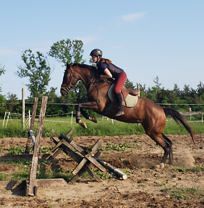fancy 5yr old h/j mare for sale