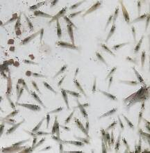 Clear cherry shrimp with black/blue genes for sale $0.5 each! Beverly Hills Hurstville Area Preview