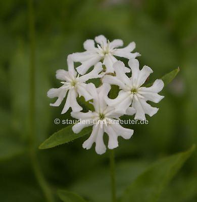 Weiße Brennende Liebe (Lychnis chalcedonica