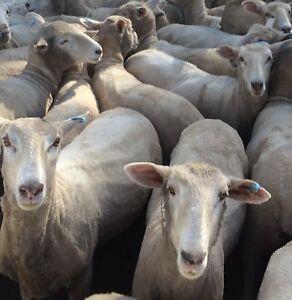 90 young 1st cross ewes Bunglegumbie Dubbo Area Preview