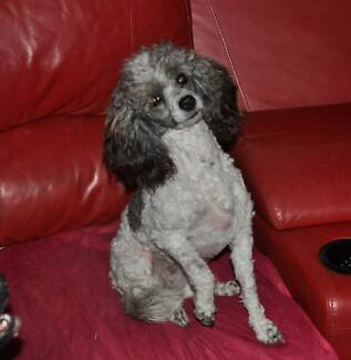 Toy Parti Poodle, female, silver and white Logan Village Logan Area Preview