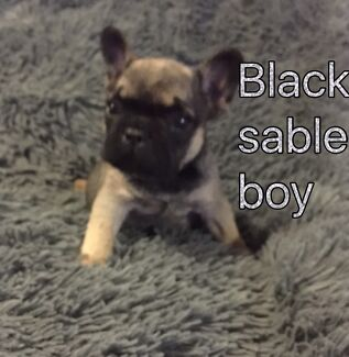 French bulldog pups ankc registerd ready to go 27th September