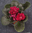 African Violet (Russian Variety)